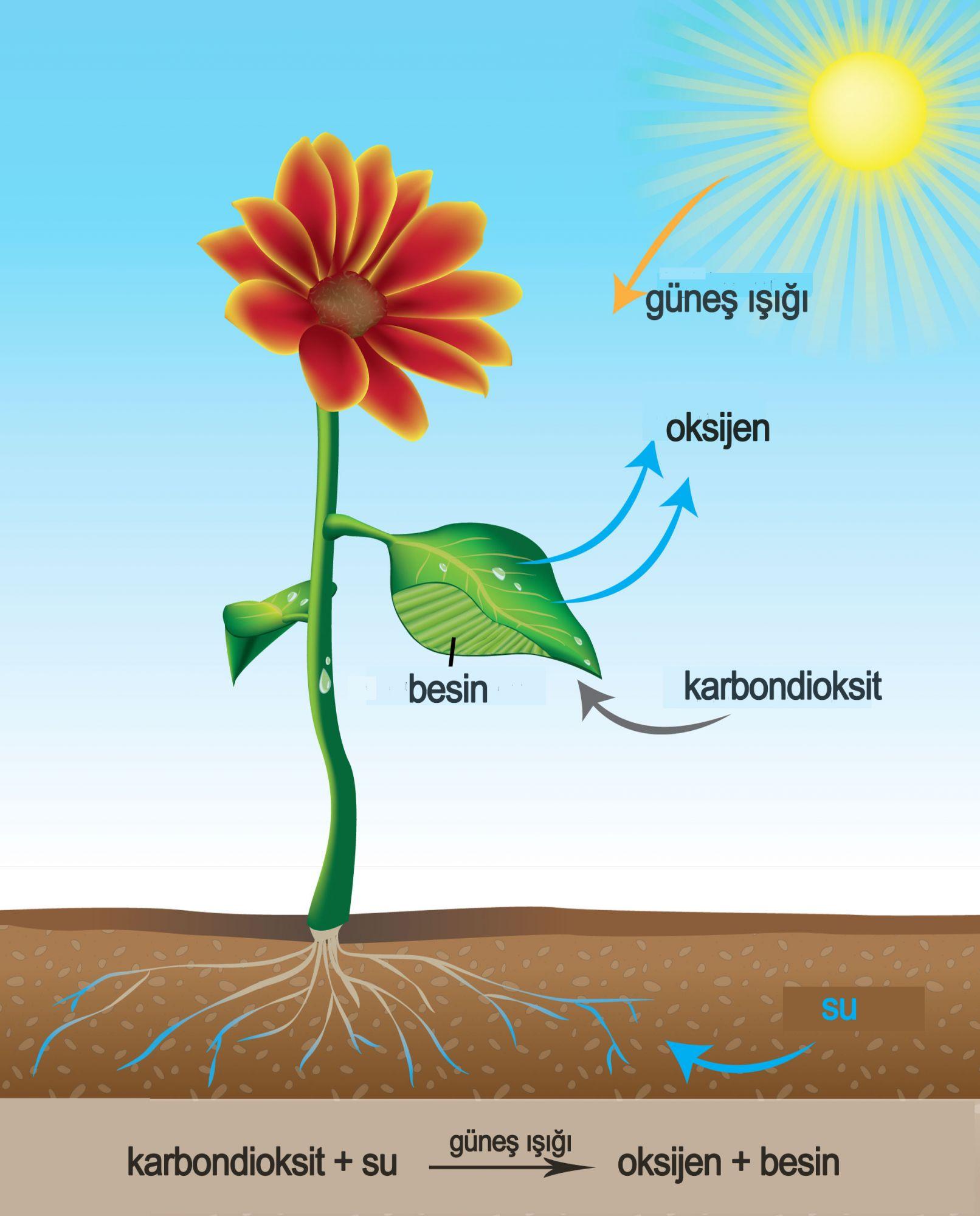 Fotosintesis y sus etapas 31